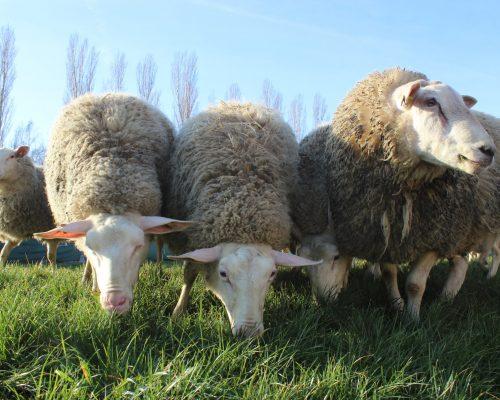 Schafe aus Pachfurth